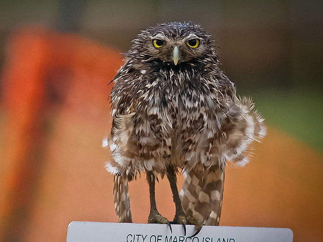 Wet owl standing on a sign.