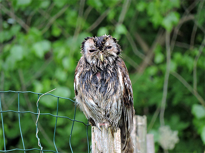 Wet owl on a fence.