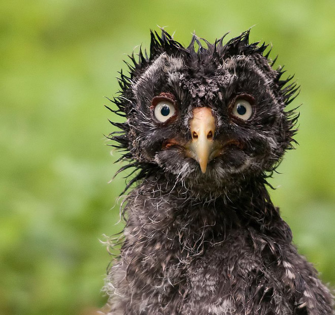 This wet owl is not amused.