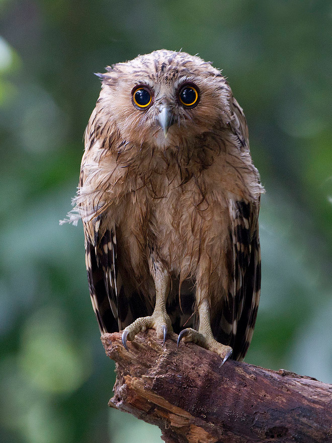 Desperate wet owl.