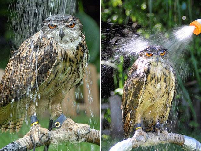 Seriously angry wet owl.