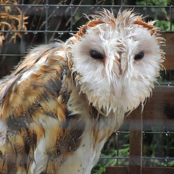 World's angriest wet owl.