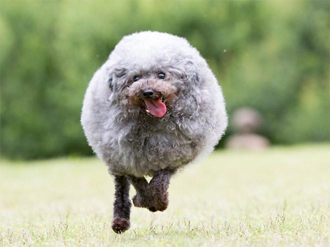 Забавная круглая собака бежит.