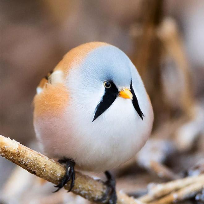 Самая круглая птица в мире.