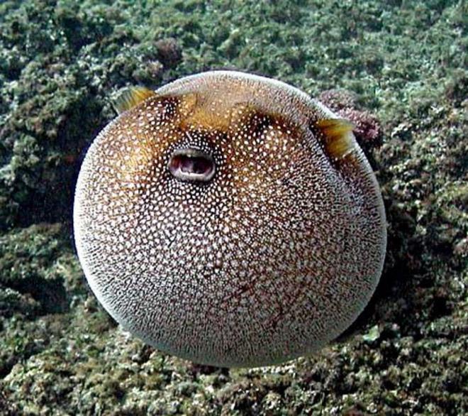 Забавная круглая рыба.