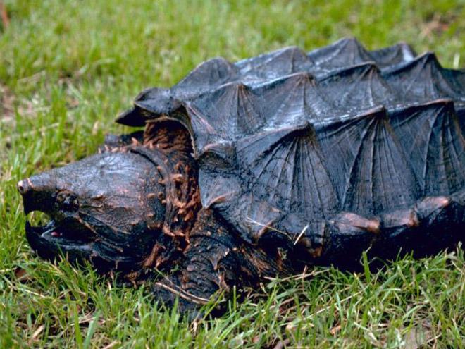 Metalhead snapping turtle.