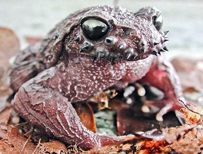 Heavy metal toad.