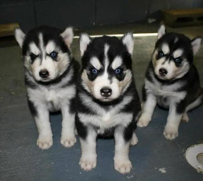 Heavy metal huskies.