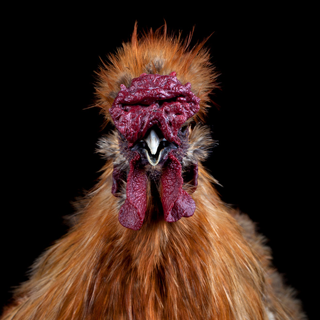 Creepy ugly chicken.