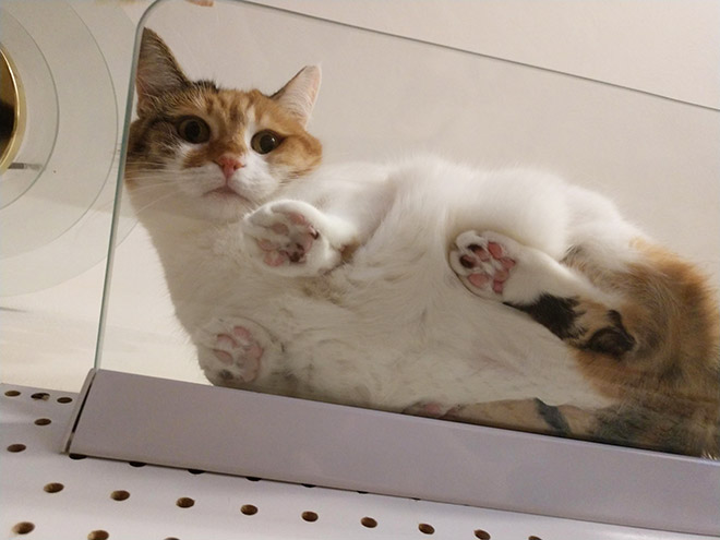 Cat laying on a glass table.