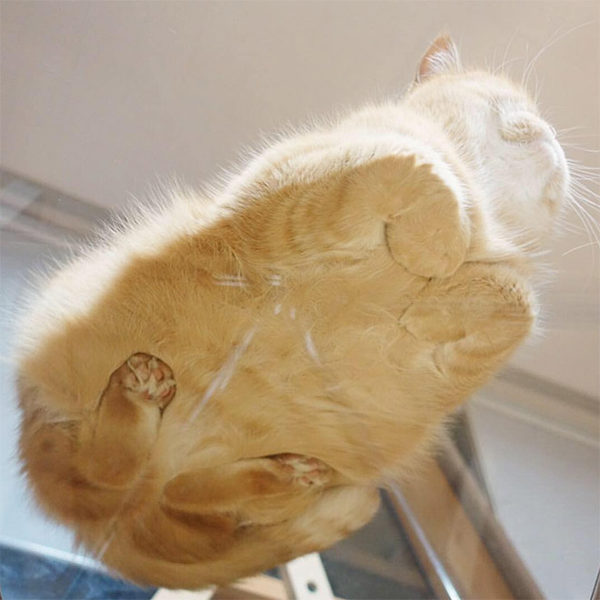Fat cat loaf sleeping on a glass table.