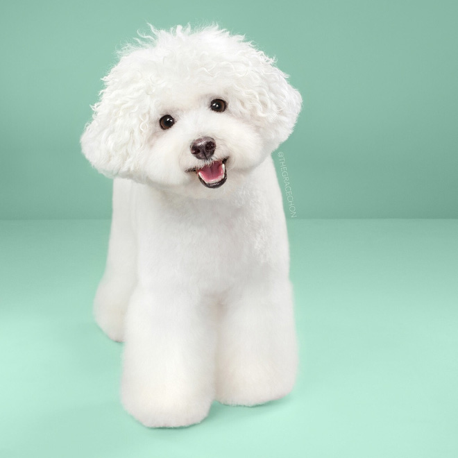 After Japanese dog grooming.