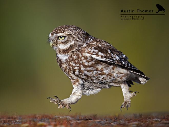 Оживленная идущая сова.