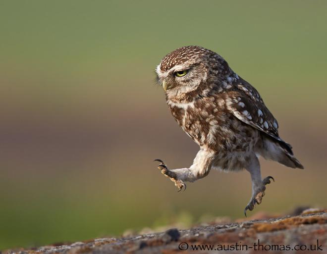 Забавная идущая сова.