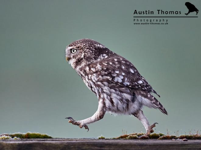 Неловко идущая сова.