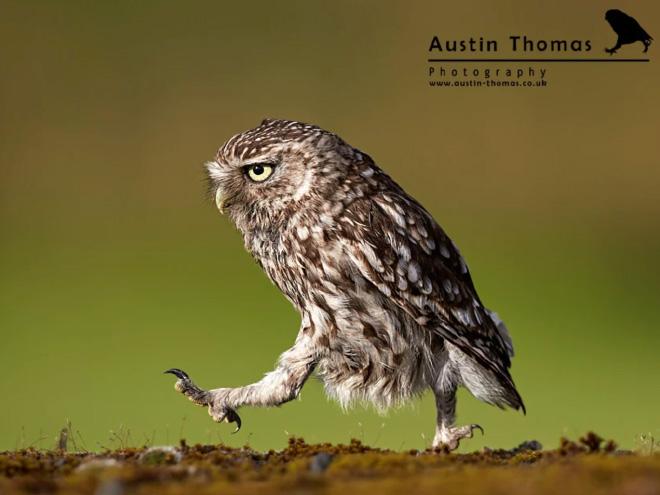 Забавная сова гуляет.