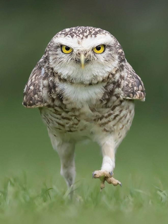 Сердитая идущая сова.