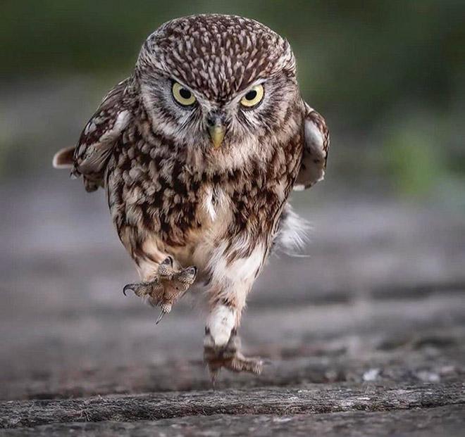 Сердитая бегущая сова.