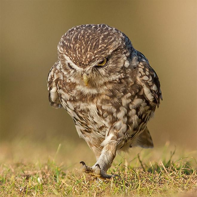 Угрюмая идущая сова.