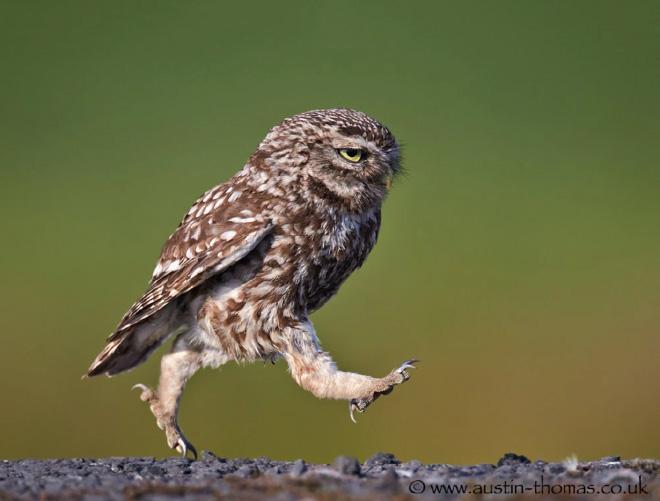 Забавная ходячая сова.