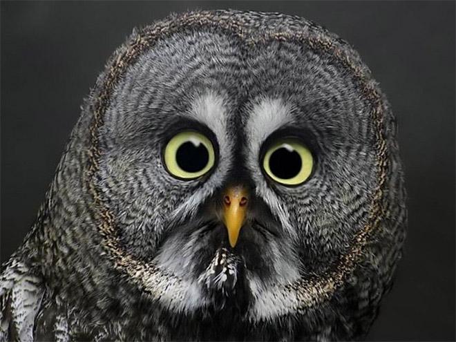 Забавная шокированная сова.