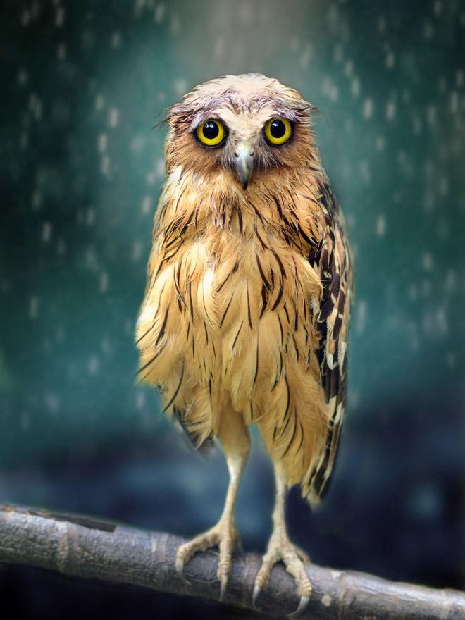 Смешная мокрая сова.