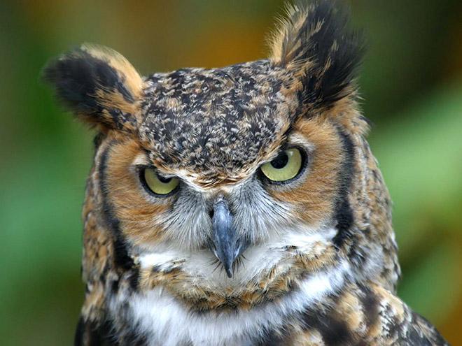 Очень сердитая сова.