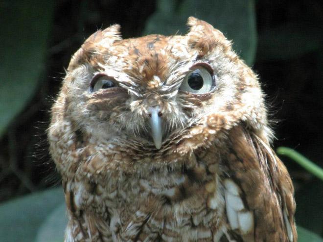 Веселый сердитый сова лицо.