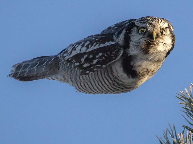 Эта сова ненавидит тебя во время полета.