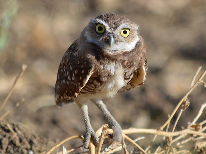 Веселая сердитая сова.
