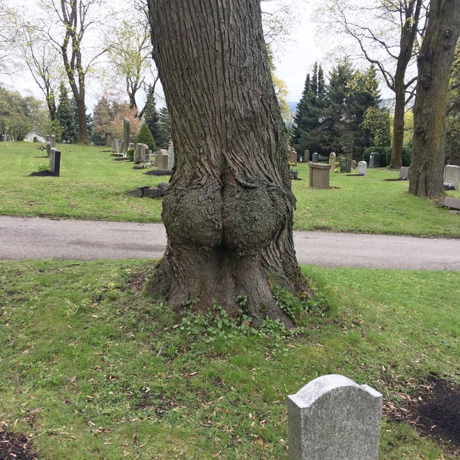 Inappropriate tree in the cemetery.