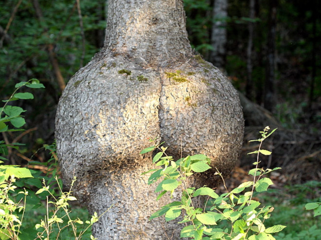 Look at the buns on this tree!