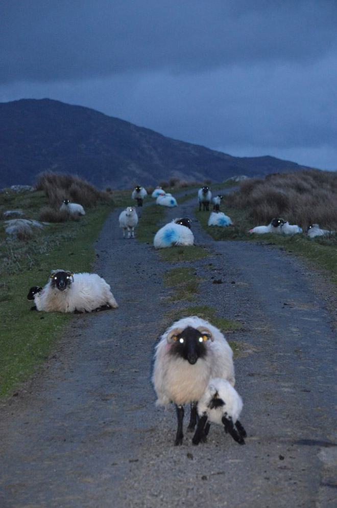 Evil sheep at night.