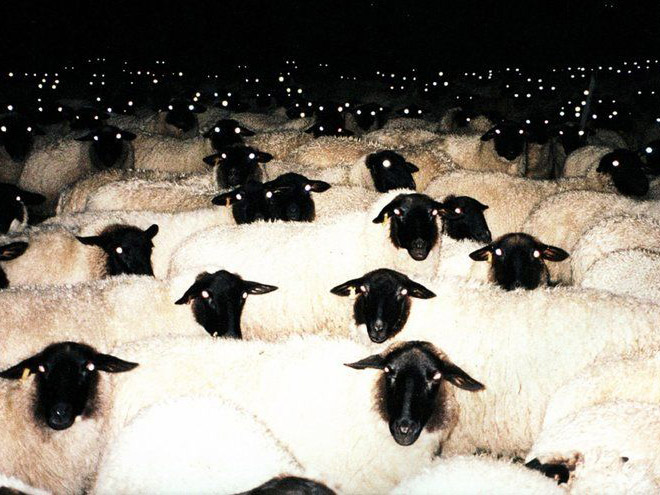 Evil sheep looking at you in the dark.