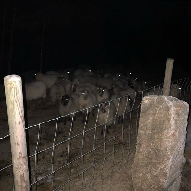 Sheep standing in the dark.