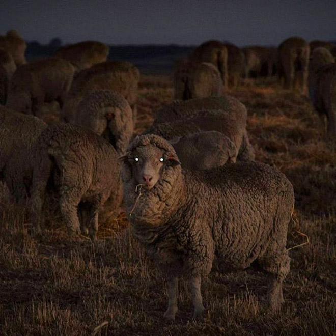 Creepy sheep in the dark.