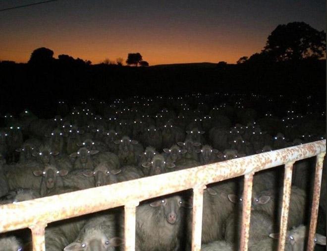 Evil creepy sheep at night.