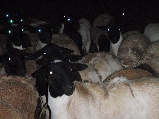 Sheep in the dark.