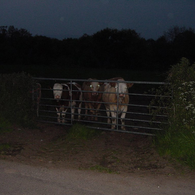 Cows at night look creepy.
