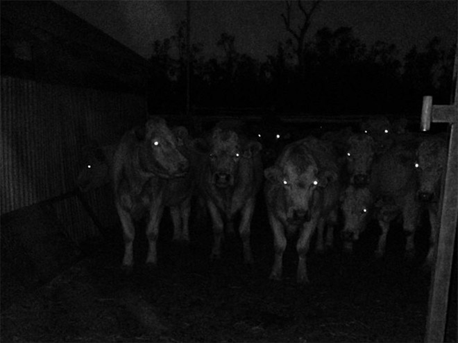 Creepy cows at night.