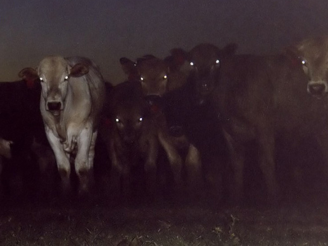 Demon cows staring right into your soul.