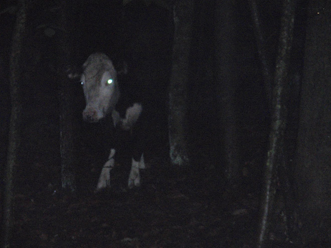 Cows at night look horrifying.