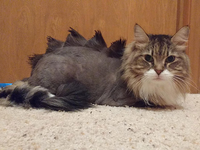 Странная вирусная тенденция: стрижка кошек-динозавров.