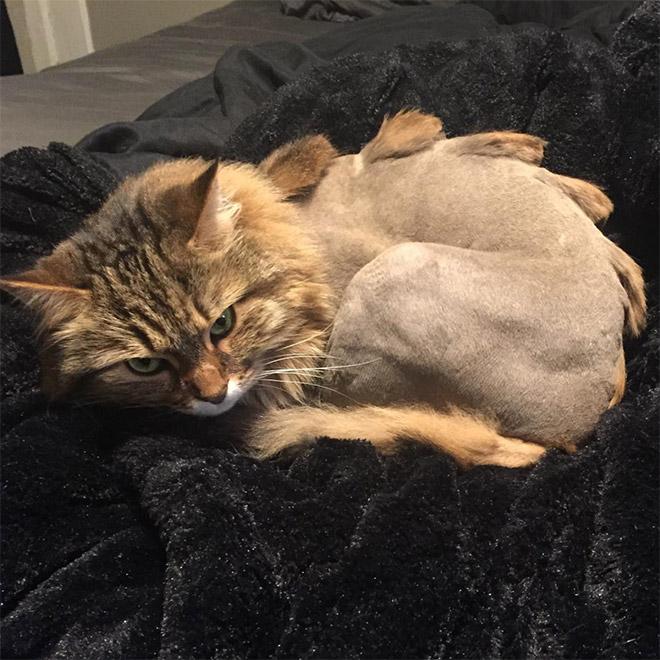 Weird viral trend: dinosaur cat haircut.