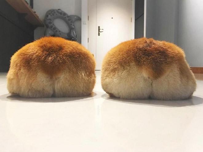 Funny cute corgi butts.