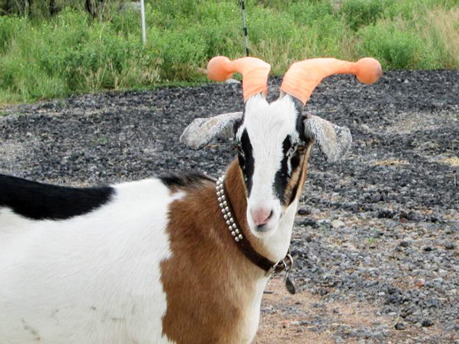 This was done to a misbehaving goat for everyone's safety.
