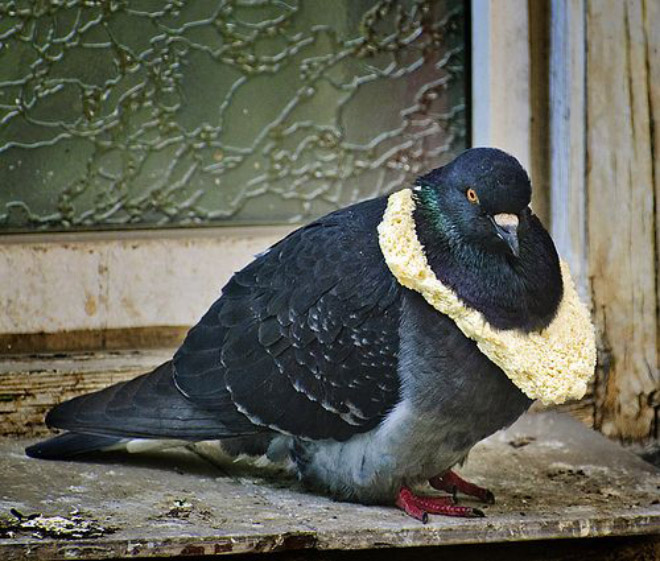 Rich pigeon wearing bread necklace.