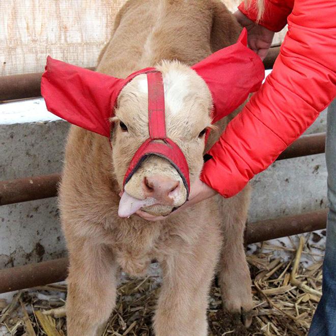 """Earmuffs for calves: also called """"Moo Muffs""""."""
