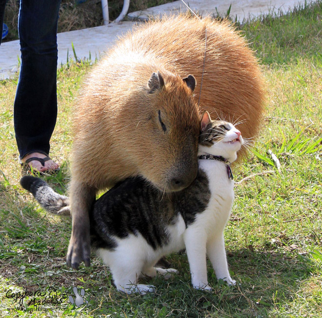 Capybaras are friends with everyone.