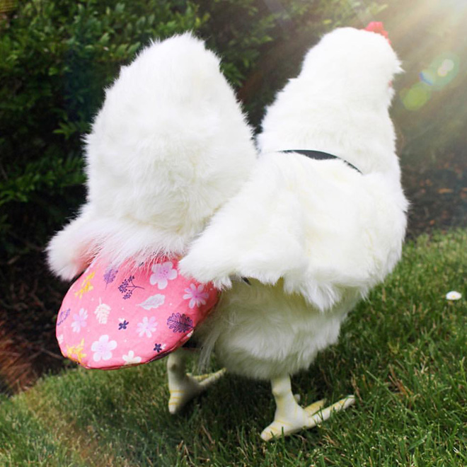 Chicken wearing diapers.